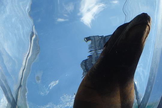サンシャインアクアリングを泳ぐアシカを真下から